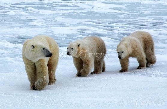 北極光、北極熊、白鯨、鳥類遷徙探秘之旅